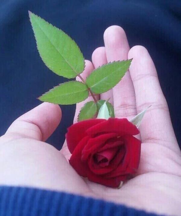 Sử Dụng Thất Giác Chi (Thất Bồ Đề Phần) Trong Công Phu Môn Niệm Phật - Bông hồng cài áo (Nhất Hạnh)