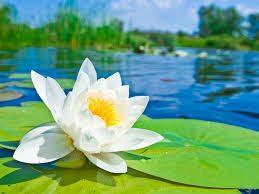 Tu học Phật pháp - Gì đẹp bằng sen...