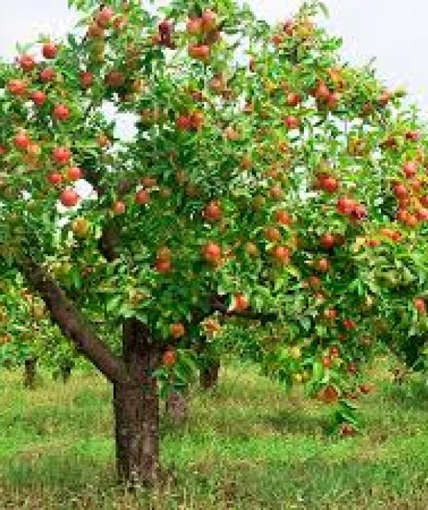 Tu học Phật pháp - Chuyện cây táo hoang