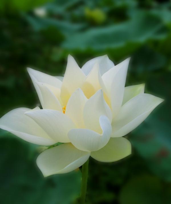 Bài viết, tiểu luận, truyện ngắn - THƯ CUNG BẠCH  của Phật tử hộ trì Tam Bảo