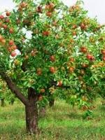 Chuyện cây táo hoang