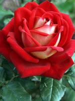 Chọn cánh hồng hoa