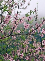 Đọc thơ xuân Nguyễn Bính