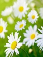 Lòng thiền hoa cúc nở