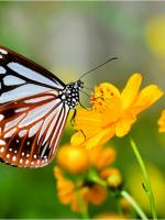 Tình bướm
